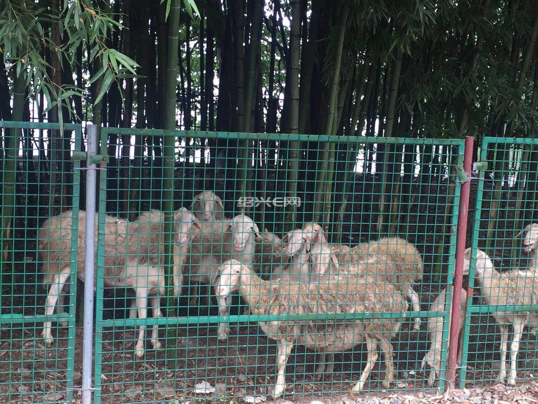 家养百斤大胡羊