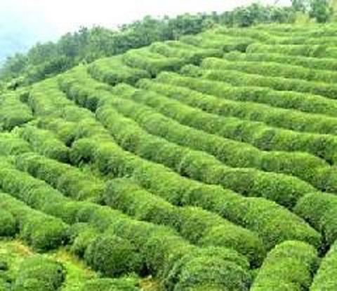 茶山花海生态旅游区
