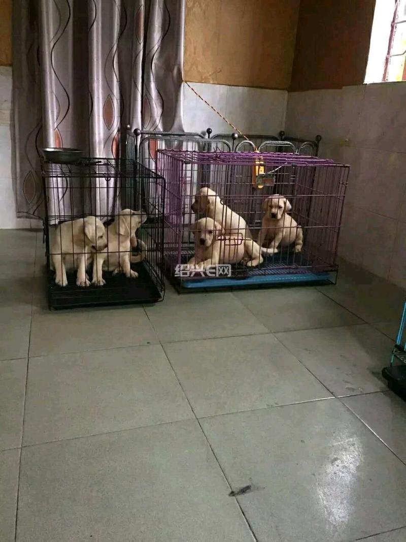 家养拉布拉多犬出售